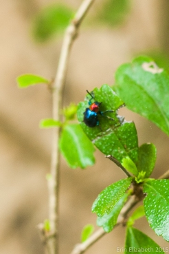 Shiny beetle, Kirirom